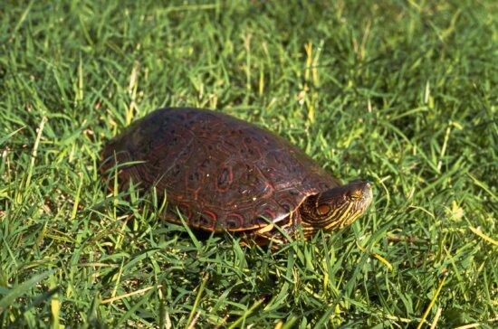 big, bend, slider, turtle