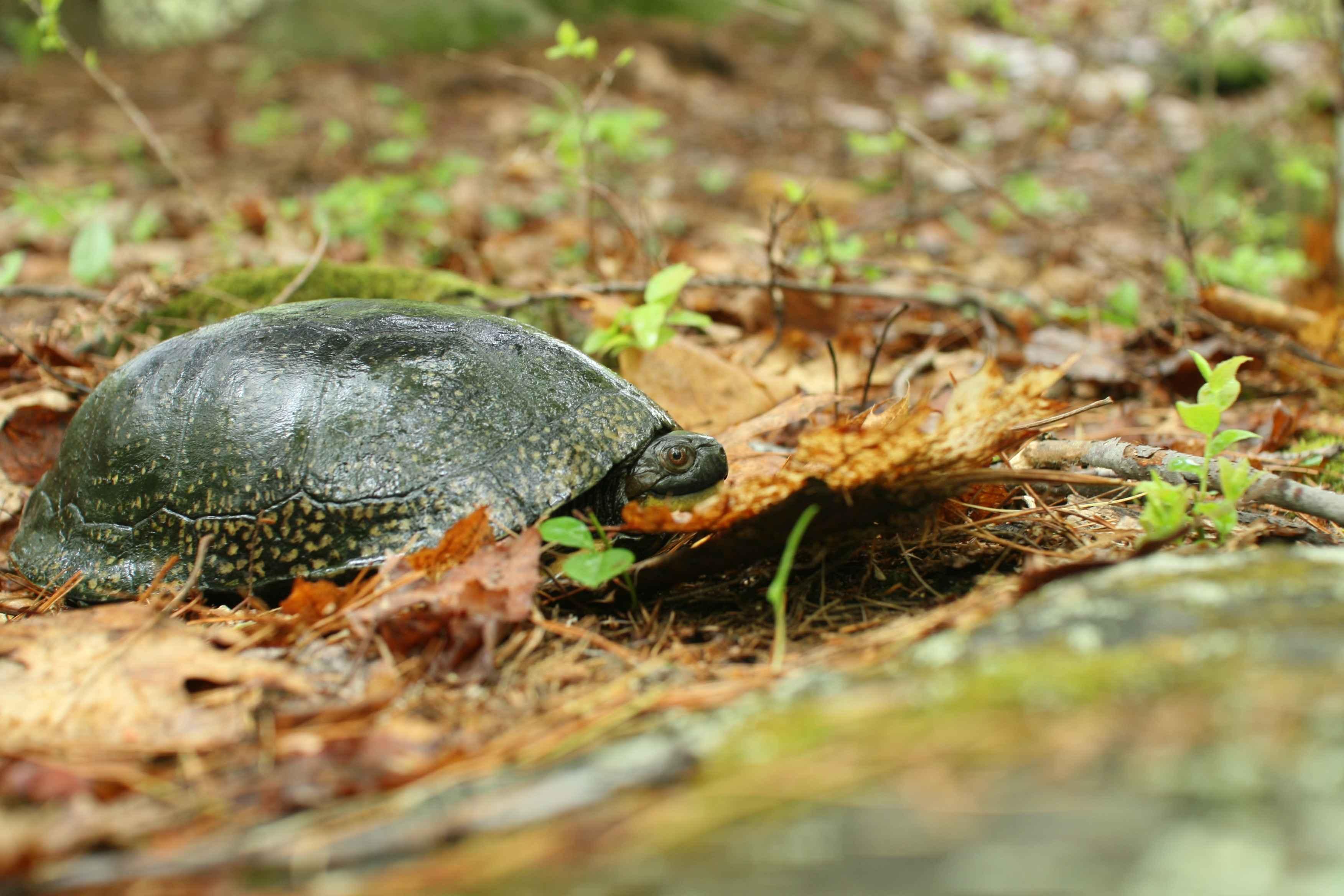 Foto gratis blandings tartaruga terra selvatico for Tartaruga di palude