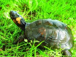 glyptemys, muhlenbergii, bog, turtle, reptile