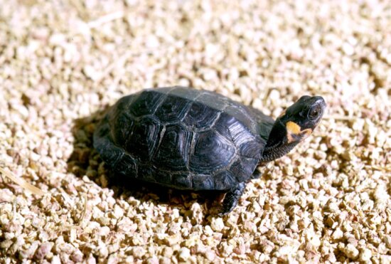 bog, turtle, sunning, bed, small, rocks