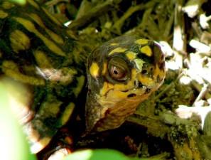okvir, kornjača, glava, terrapene, Karolina