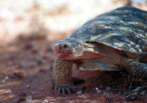 pustinja, kornjača, glava, blizu