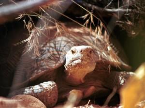 pustinja, kornjača, reptil