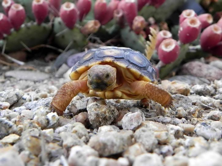 desert, tortoise, turtle, up-close, front, gopherus, agassizii