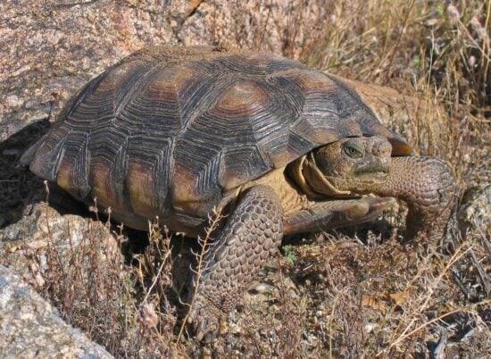 Wüste Schildkröte