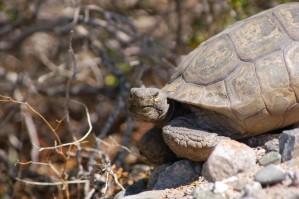 desert, tortoise, turtle, desert, rocks, gopherus, agassizii