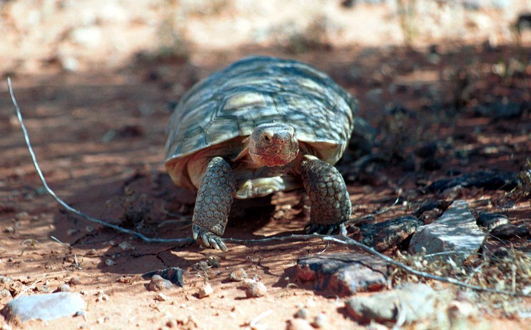Free photograph; desert, tortoise