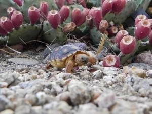 形象, 索诺兰, 沙漠, 龟