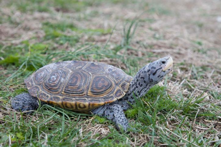 diamond, terrapin, turtle, reptile, malaclemys, terrapin