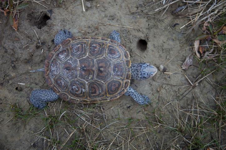 Malaclemys, terrapin, crucifères, terrapin, tortue, animal