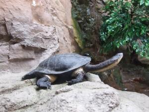 terrapin, tortue