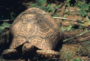 géant, tortue, léopard, tortue
