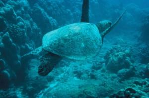 zeleno, more, kornjača
