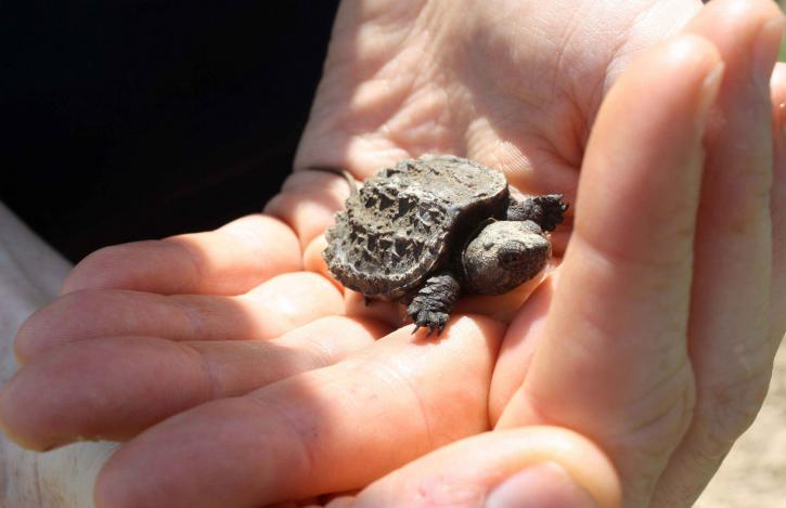 A cute baby snapping turtle