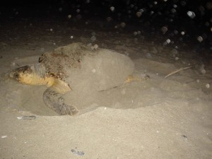 caouanne, tortue, animal, fixe, oeufs, plage