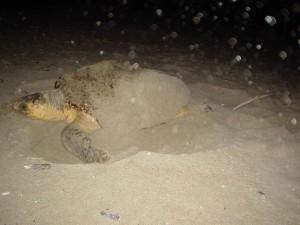 loggerhead, turtle, animal, lays, eggs, beach