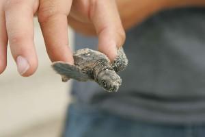 baby, loggerhead, turtle, night, close