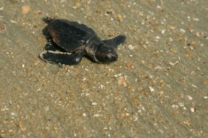 baby, loggerhead, turtle, way, ocean, nest