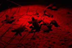 Μωρό, χελώνες, χελώνες, επώαση, νύχτα