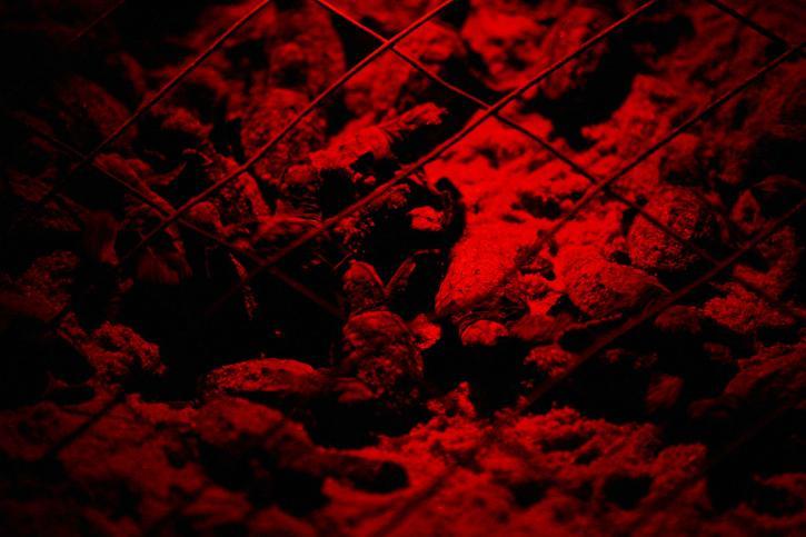 Baby Логгерхед черепах, червоний, світло, Фото