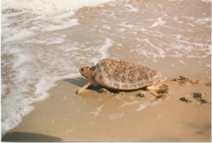 vrouw, onechte, zee, schildpad, caretta, caretta