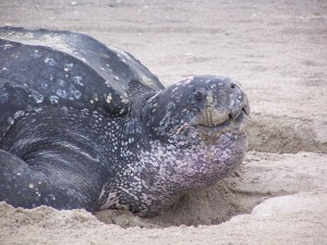 Кожеста, костенурка, пясък, dermochelys coriacea