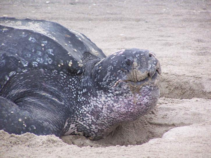 läderbaksida, sköldpadda, sand, dermochelys coriacea