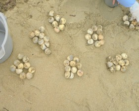 loggerhead, sea, turtle, eggs