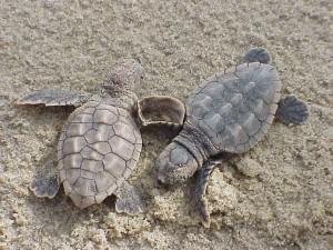 onechte, zee, schildpad, hatchlings, caretta, caretta