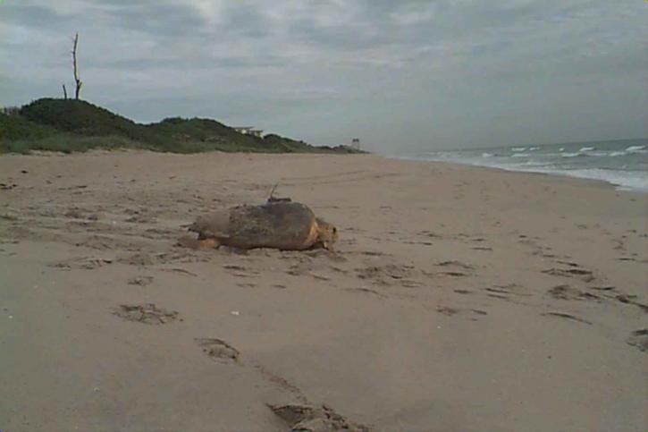 loggerhead, sea, turtle, satellite, transmitter