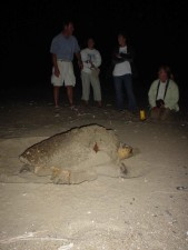 loggerhead, turtle, builds, nest, caretta, caretta