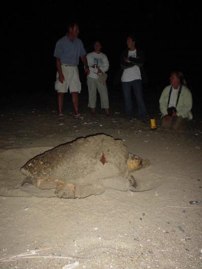 loggerhead, turtle, builds, nest, caretta, caretta