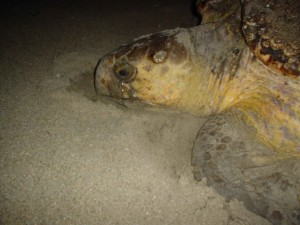 loggerhead, sea, turtle, reptile, lays, eggs, nest, beach