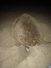 Unechte, Schildkröte, nest, caretta caretta