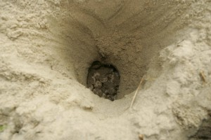 loggerhead turtle, eggs, sand, hole, nest
