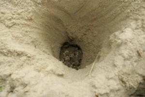 loggerhead-schildpad, eieren, zand, gat, nest