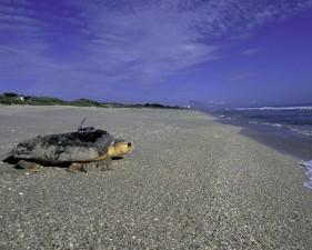 Καρέτα-Καρέτα, θάλασσα, χελώνα