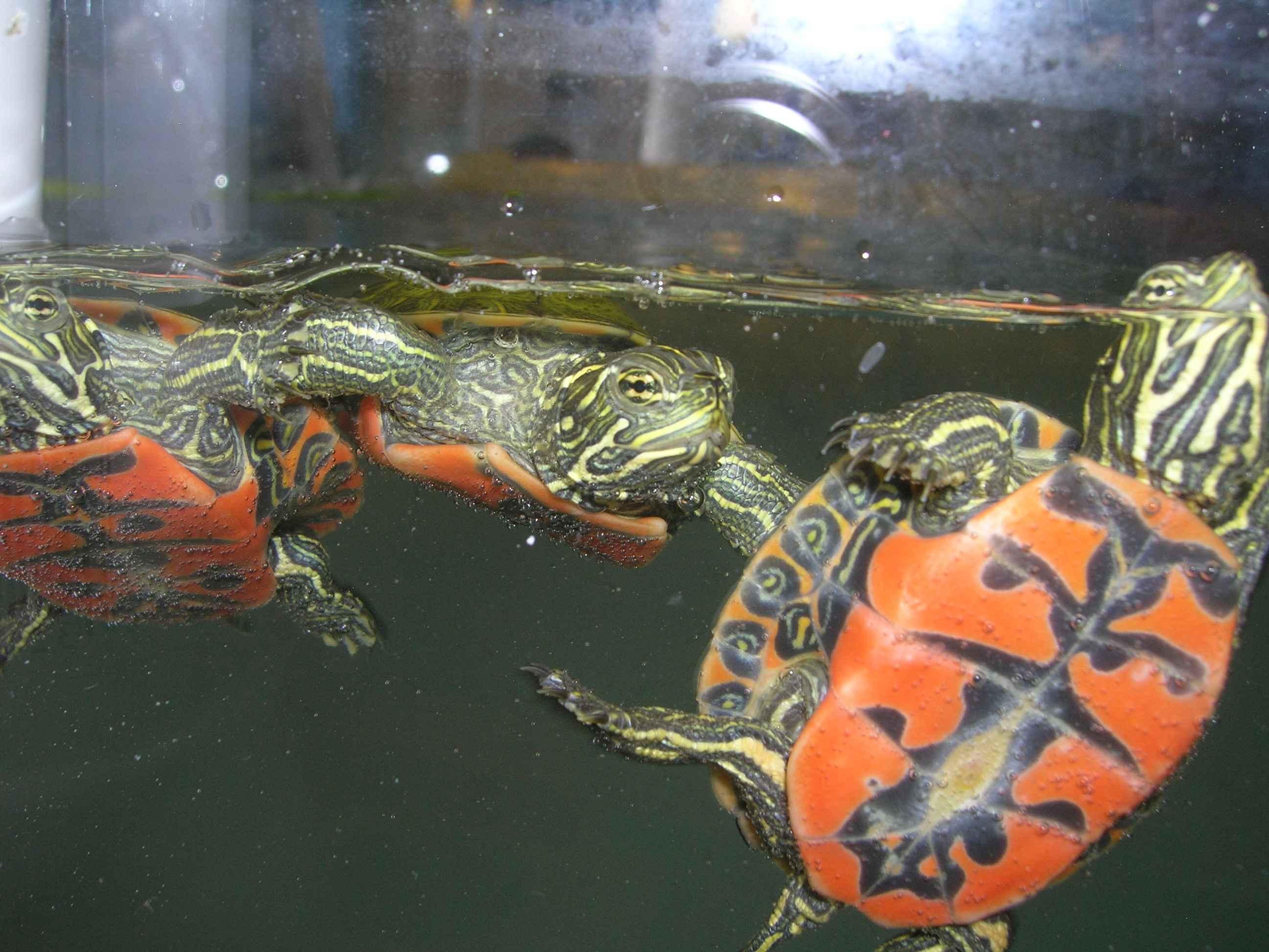 Содержание водной черепахи в домашних условиях 28