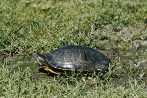 painted, turtle, chrysemys picta