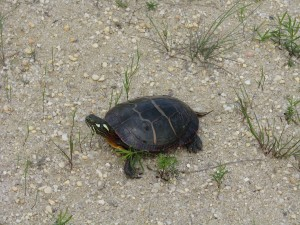 painted, turtle, reptiele, ground, chrysemys picta
