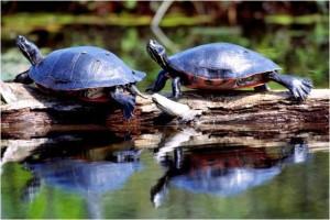 Pseudemys rubriventris, pèlerin, du nord rouge, ventre, crooters, tortues