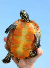 Pseudemys rubriventris, le nord de rouge, ventre, crooter, tortue