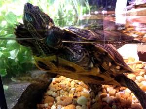 Kırmızı kulaklı kaymak kaplumbağa, trachymys scripta elegans, yüzme, akvaryum