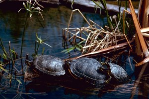 red, eared, sliders, turtles