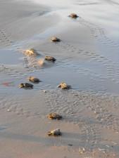 Baby, more, korytnačky, cesta, voda