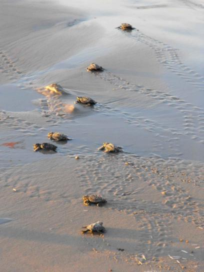 Μωρό, θάλασσα, χελώνες, δρόμο, νερό