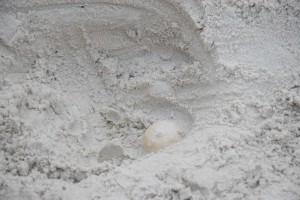 φωλιά από κοντά, αυγό, ακάλυπτα, θάλασσα, χελώνα,