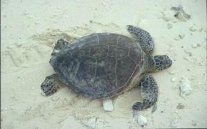 Groene zee, schildpad, kruipen, zand, chelonia, mydas