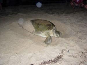 groen, zee, schildpad, nesten, strand, zand, chelonia, mydas