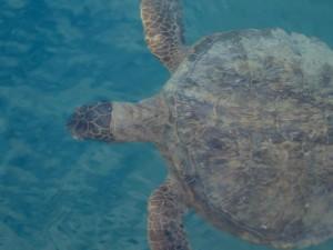 groen, zee, turtle, onderwater, dier